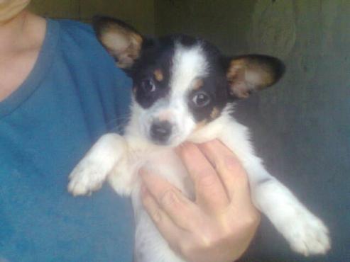 Chihauhau x Jack Russell puppy