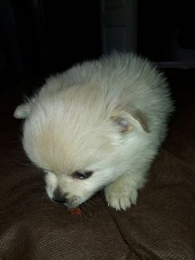 Toypom/Pomeranian Miniture Pure Breed Puppies