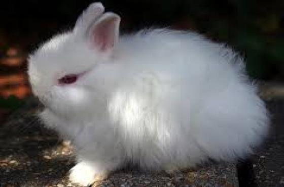 Dwarf Angora Bunnies(Jersey Woolly)