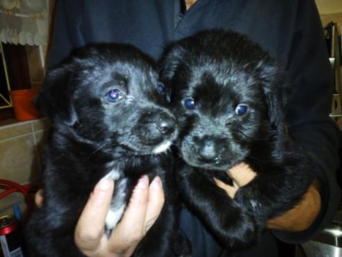 Labrador puppies for sale!