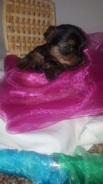 Standard & Teacup Male Yorkies For Sale!