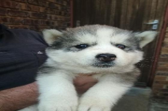 husky puppies 8 weeks old