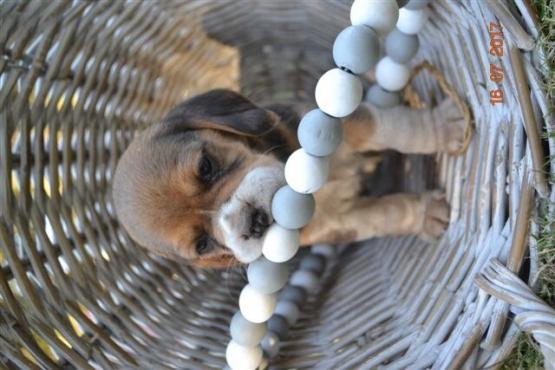 KUSA registered beagle puppies
