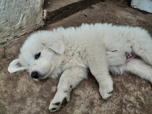 Pyrenean puppy for sale