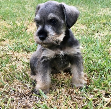 Beautiful Miniature Schnauzer Puppies