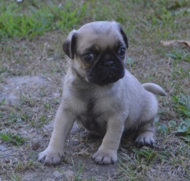 Pug  Puppies- 8 weeks
