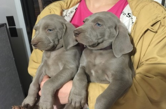 Weimaraner  Puppies - 10 weeks