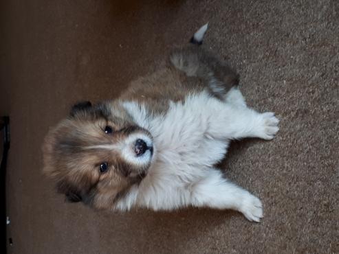 Rough Collie Lassie Puppies for Sale