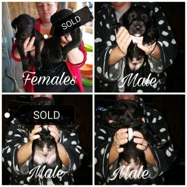 Labmaraner pups