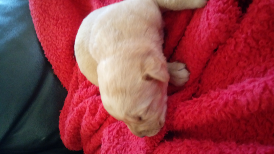 Pure bred golden Labrador puppies