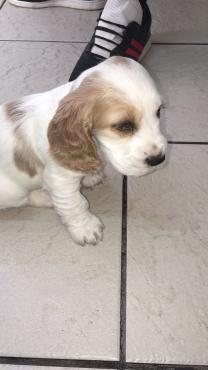 Brown & White English Cockerspaniel Puppies 7 Weeks Old.