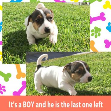 Beautiful Pure bred short leg Jack Russel Puppy