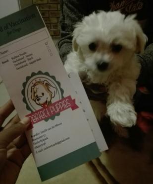 Pure bred Maltese puppy