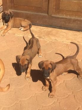 Rhodecian Ridgeback Puppies