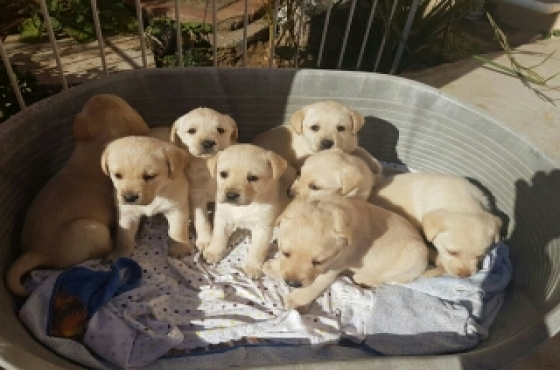 white blue eyed labrador puppies for sale