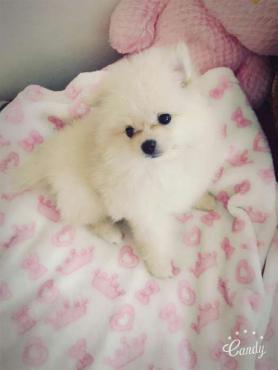 Toy-Pom puppie