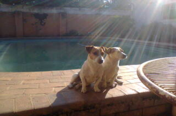 Jack Russell pure breed CanineSA registered male and female short leg puppies