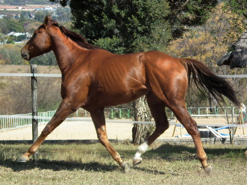 Very big and stockey weight carrier 17h gelding