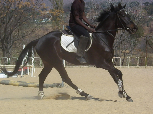 Stunning 15.1h black tb gelding suitable for nervous rider