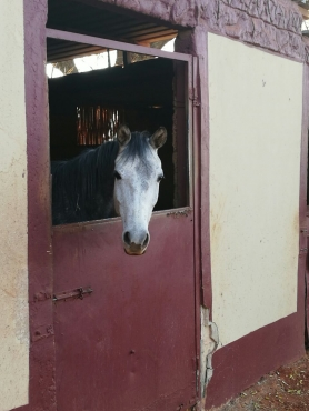 Grey arabian mare for sale
