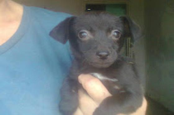 Miniature Pinscher x Yorkie puppies