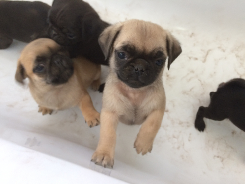 Adorable pedigree Pug puppies available and ready to join their forever families!
