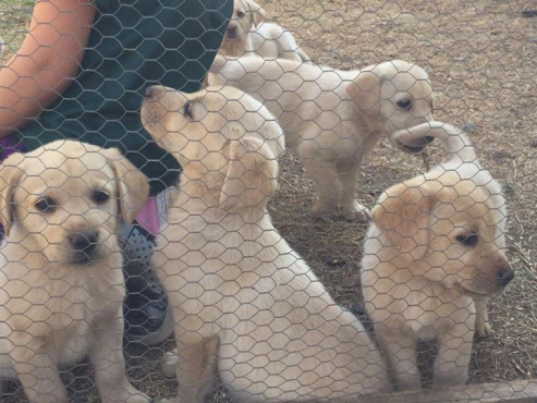 Labrador puppies pedigree