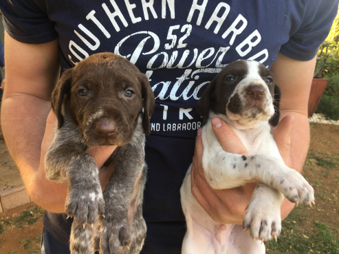 German Short haired Pointer puppy's for sale