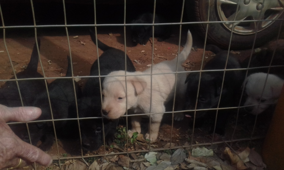 Labradoor puppies