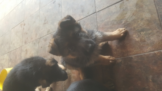 German Shepard puppies pure bred R2500neg only females left
