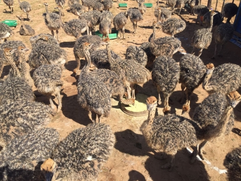 South African black ostriches