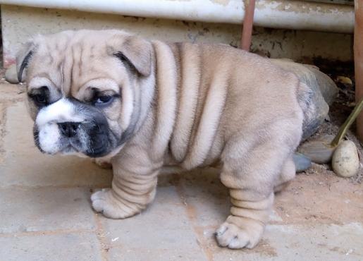 English bulldog puppy 4 sale