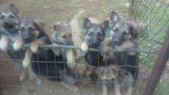 GERMAN SHEPHERD PUPPIES FOR SALE.