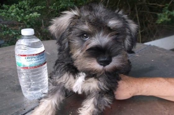 Miniature Schnauzer Puppies(8 weeks old)