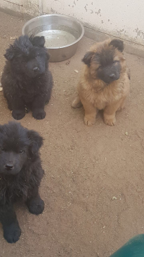 Chineese Chow Puppies 10 weeks
