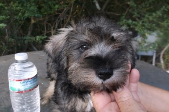 Miniature Schnauzer Puppies(8 weeks old)