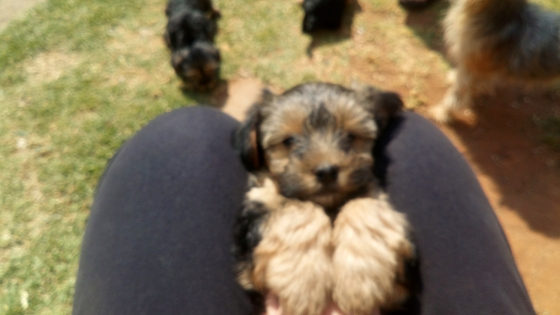 Yorki puppies for sale