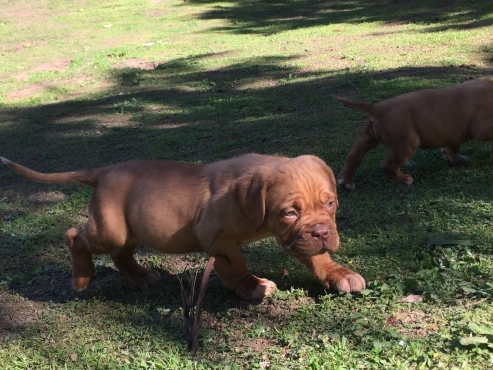 French mastiff puppies