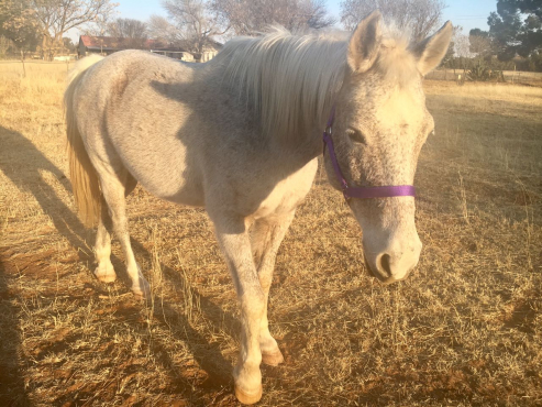 Arab x Mare For Sale