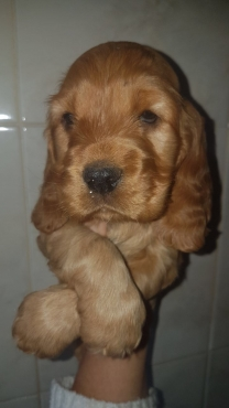 Golden Spaniel Puppies