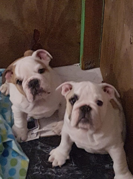 Kusa Registered English Bulldog puppies