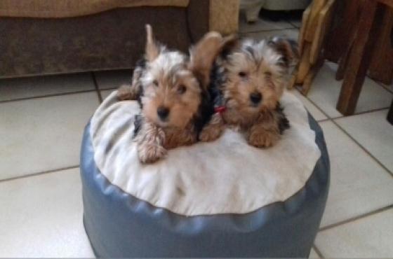 Yorkshire terrier reuntjies