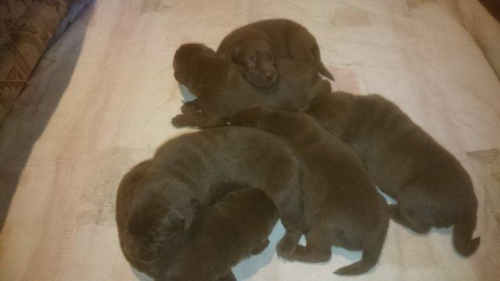 I have three SADBA registered Thoroughbred chocolate Labrador puppies for sale.