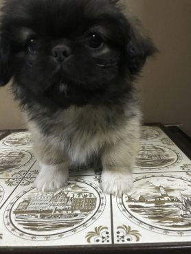 Beautifull Pekingese Puppies for sale