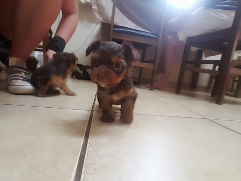 Chocolate yorkie puppies