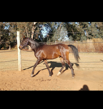 Registered Import Arabian Gelding Horse For Sale