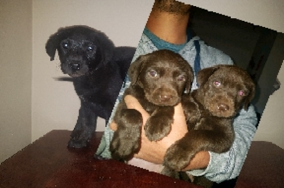 Chocolate+Black Labrador puppies