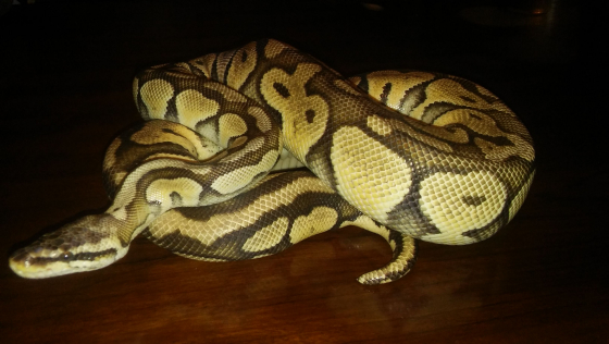 Super pastel ball python male