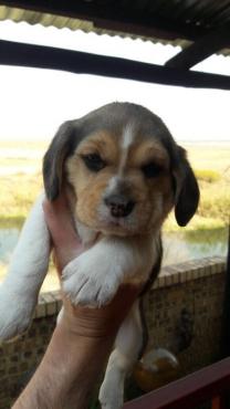 Adorable beagle puppies