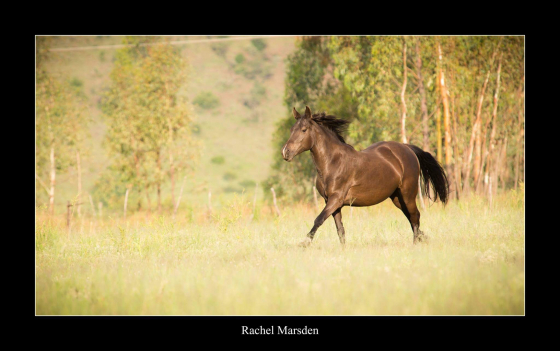 Cinrick Zalikha - Quarter Horse x mare